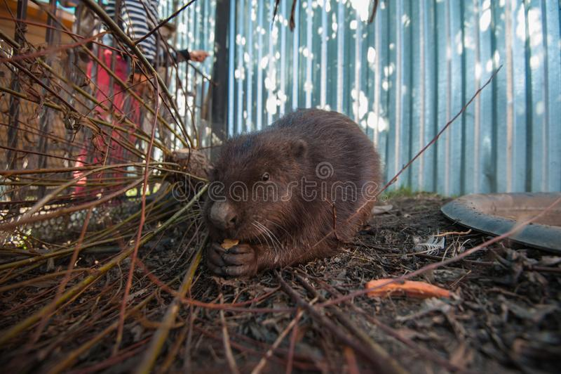 Un portrait de castors image stock