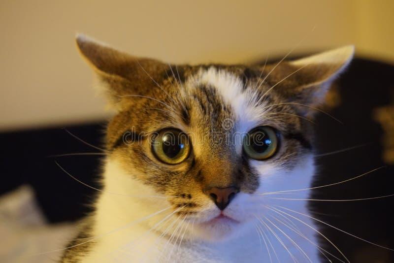 Un portrait de chat images libres de droits