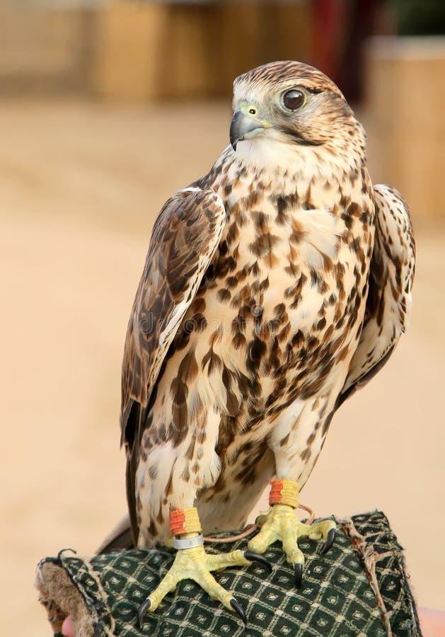 Un portrait de falcone de saker images libres de droits