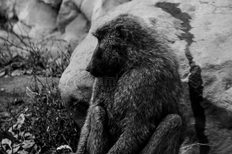 Un portrait monochrome foncé d'un babouin de Chacma de mâle adulte photographie stock libre de droits