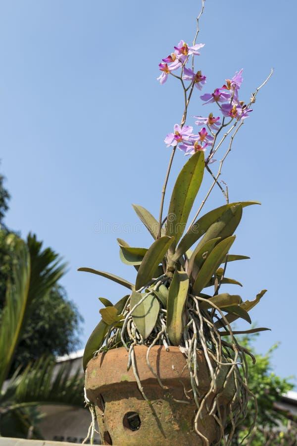 Un pote de la flor de la orquídea con el fondo del cielo azul fotos de archivo