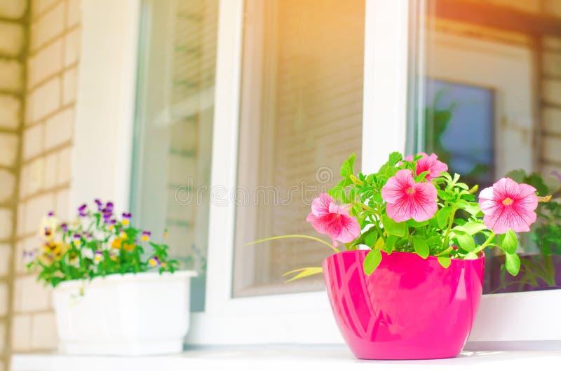 Un pote de petunias rosadas se coloca en la ventana, las flores hermosas de la primavera y del verano para el hogar, el jardín, e foto de archivo libre de regalías