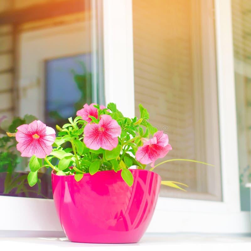Un pote de petunias rosadas se coloca en la ventana, las flores hermosas de la primavera y del verano para el hogar, el jard?n, e fotos de archivo