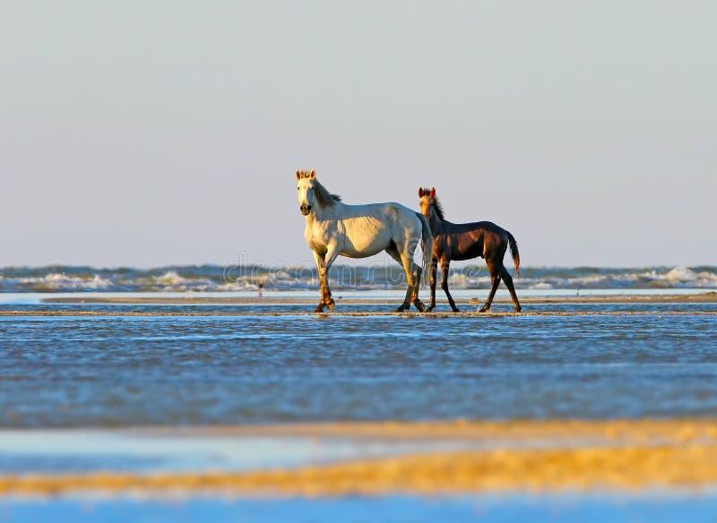 Un potro con una mamá en la orilla de mar fotos de archivo libres de regalías
