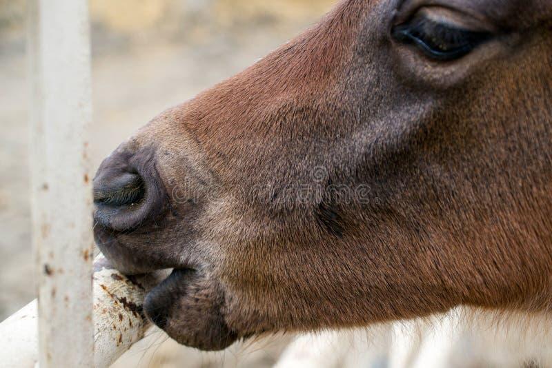 Un poulain mâchant une barrière photographie stock libre de droits