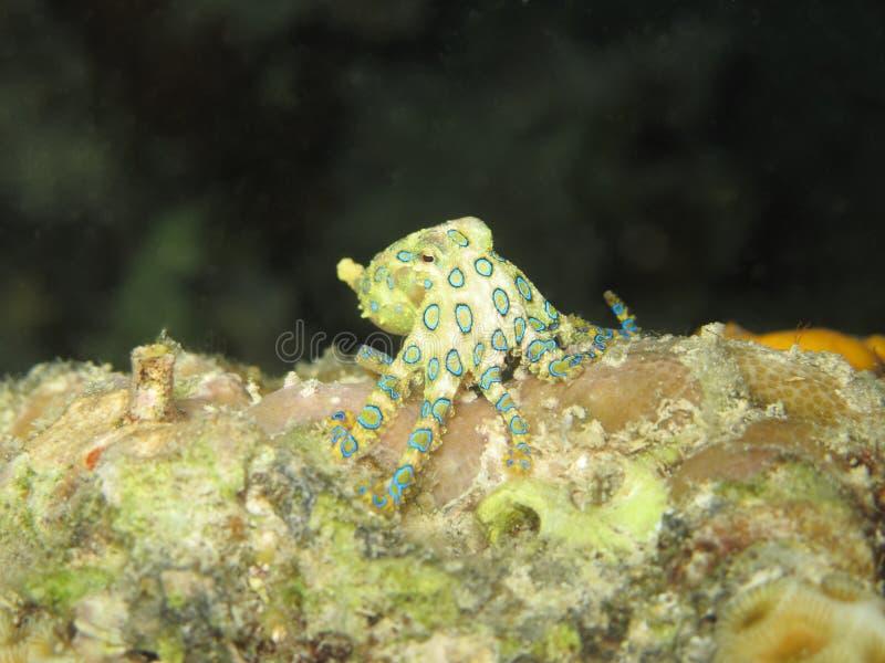 Un poulpe Bleu-bagué plus grand photo stock