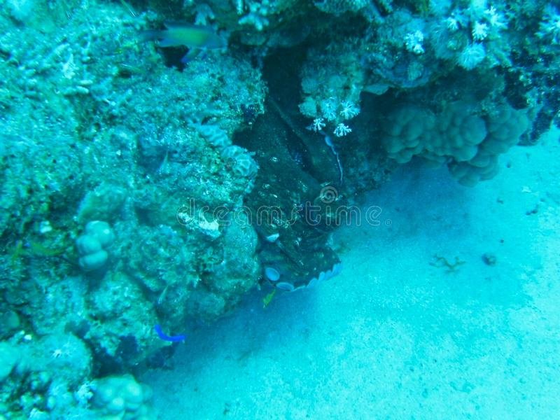 un poulpe dans un corail photographie stock libre de droits