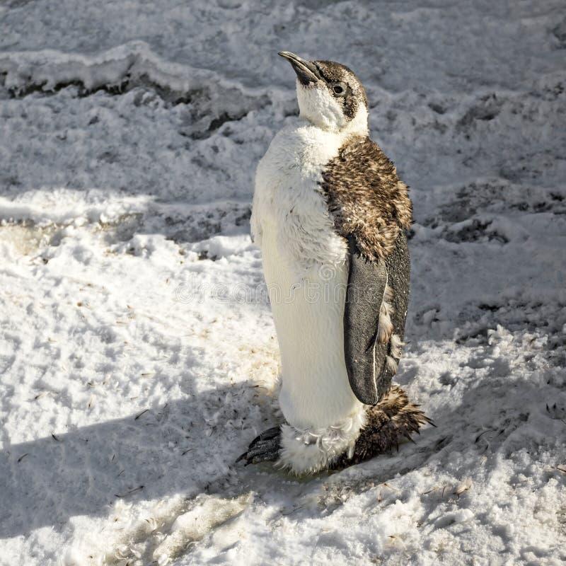 Un poussin de pingouin d'empereur (forsteri d'Aptenodytes) photographie stock