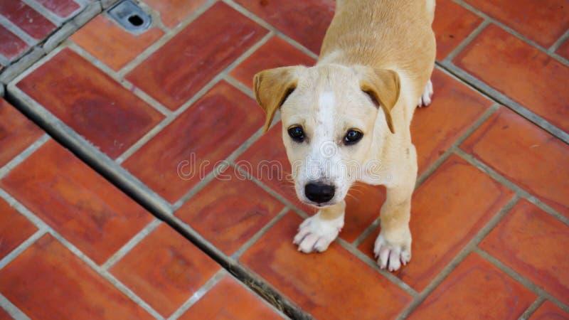 Un povero cucciolo di cane marrone sul pavimento del mattone rosso fotografia stock