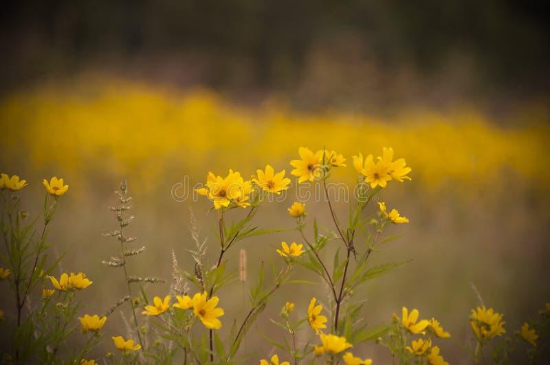 Un prado de flores amarillas brillantemente coloreadas fotos de archivo