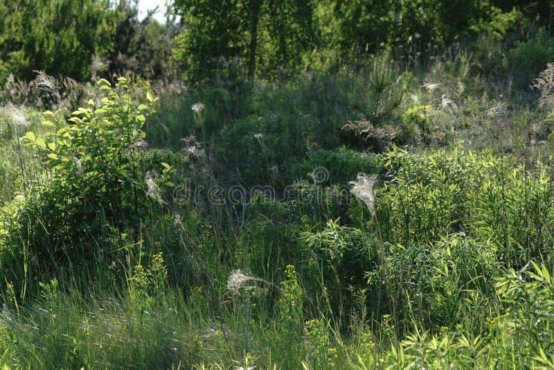 Un prado salvaje de hierbas fotos de archivo libres de regalías