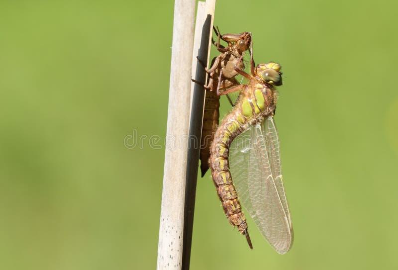 Un pratense peloso acerbo di recente emergente di Brachytron della libellula che si appollaia su una canna con il suo exuvium immagini stock libere da diritti