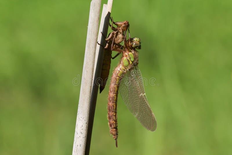 Un pratense peloso acerbo di recente emergente di Brachytron della libellula che si appollaia su una canna con il suo exuvium fotografia stock