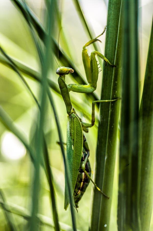 Un predicador verde en un tallo de la hierba fotografía de archivo libre de regalías