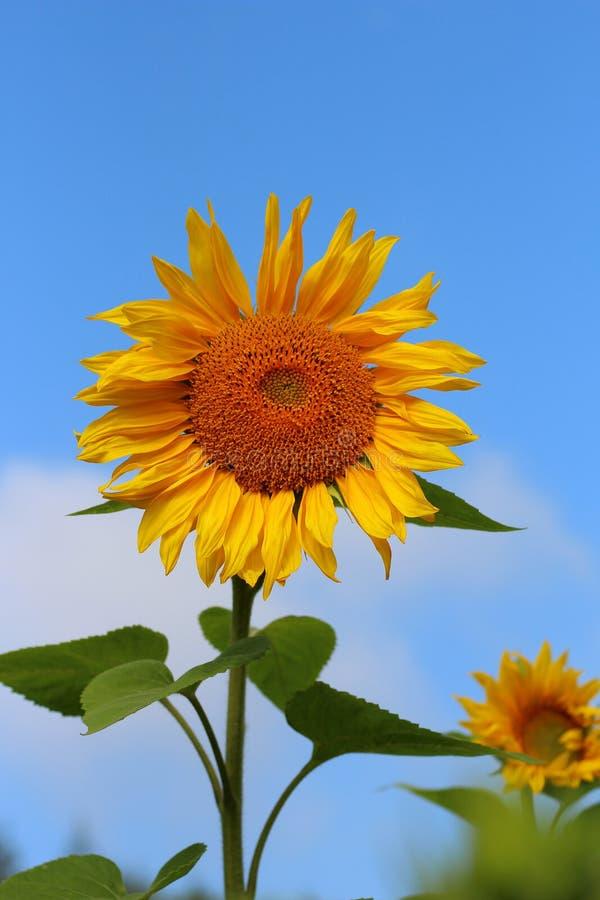 Un primer amarillo brillante del girasol en fondo del cielo azul fotos de archivo libres de regalías