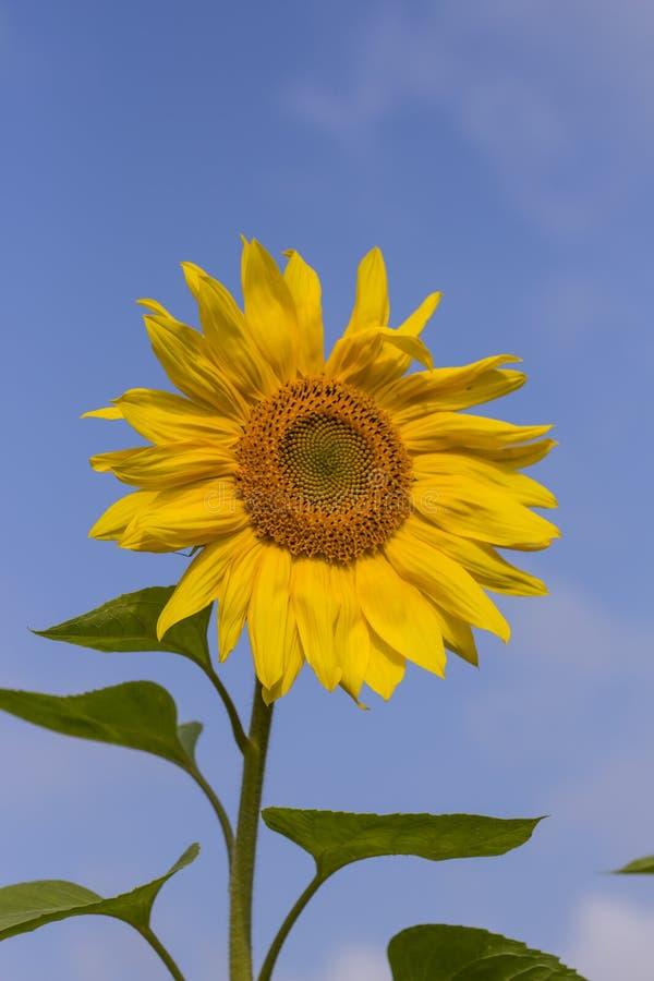 Un primer amarillo del girasol contra un cielo soleado azul foto de archivo libre de regalías