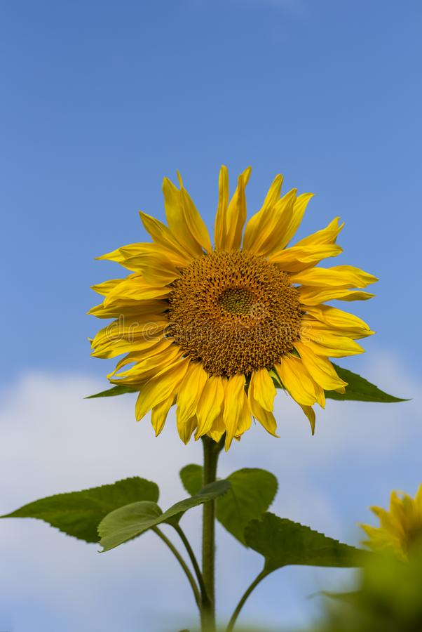 Un primer amarillo del girasol en fondo del cielo azul foto de archivo libre de regalías