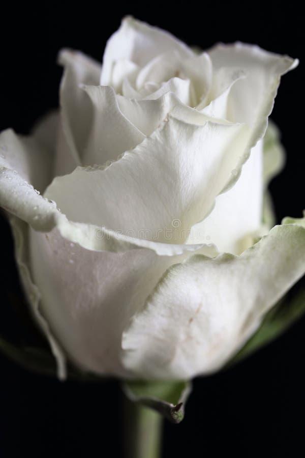 Un primer de la cabeza que una sola rosa del blanco con agua cae fotos de archivo
