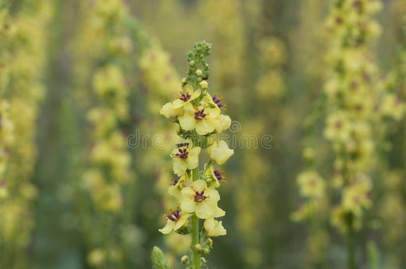 Un primer de la flor de Mullein en fondo borroso del prado del mullein imágenes de archivo libres de regalías