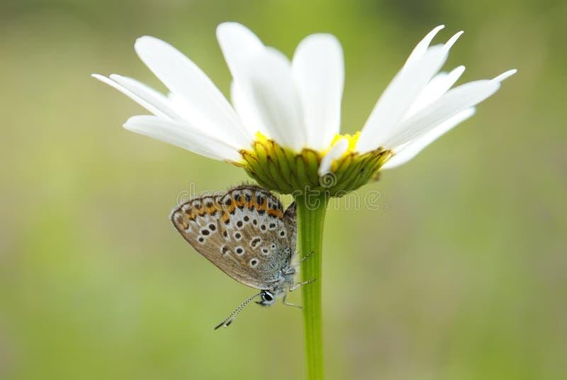Un primer de la mariposa (plebejus argus) en la flor blanca de la manzanilla fotos de archivo