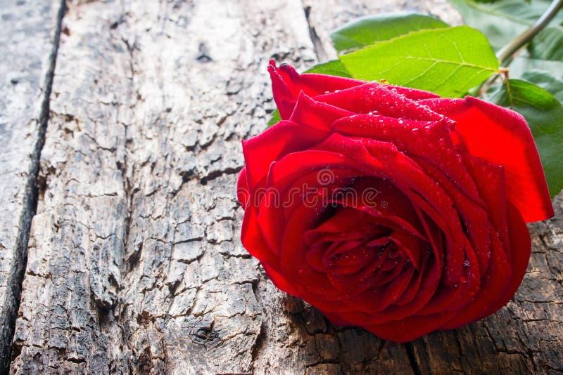 Un primer de la rosa del rojo en fondo de madera con las gotitas de agua foto de archivo libre de regalías