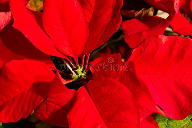 Un primer de las hojas rojas de la poinsetia foto de archivo libre de regalías