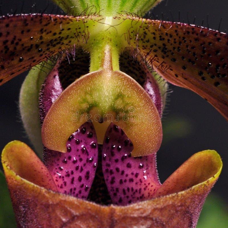 Un primer de un Paphiopedilum de la orquídea en los colores violetas foto de archivo libre de regalías