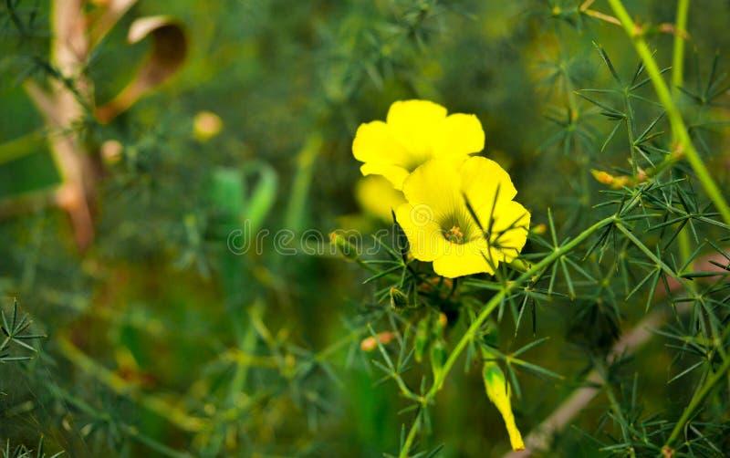 Un primer de una flor amarilla del alazán de madera en el iris púrpura del bosque en el bosque imágenes de archivo libres de regalías