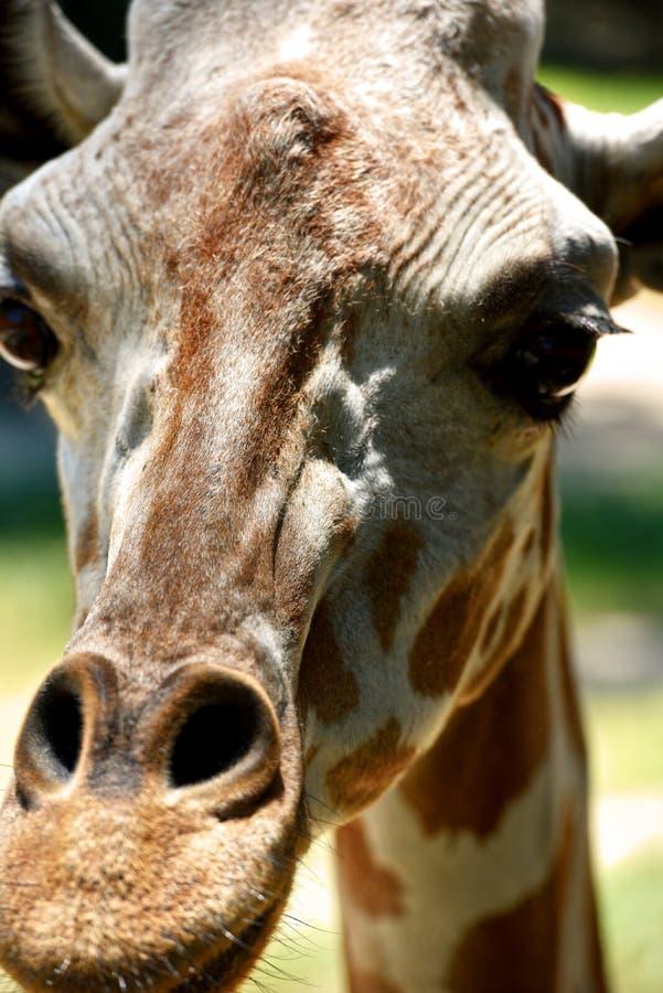 Un primer de una jirafa imagen de archivo libre de regalías