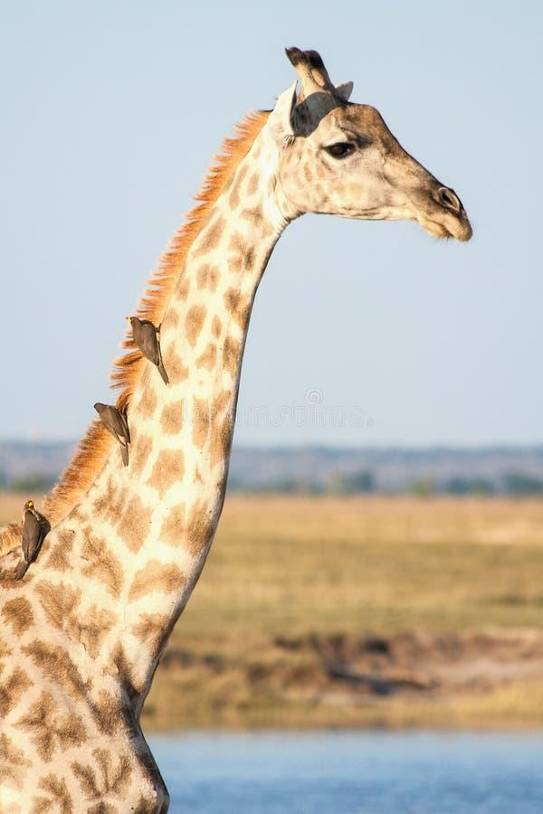 Un primer de una jirafa con los pájaros en Botswana imagenes de archivo
