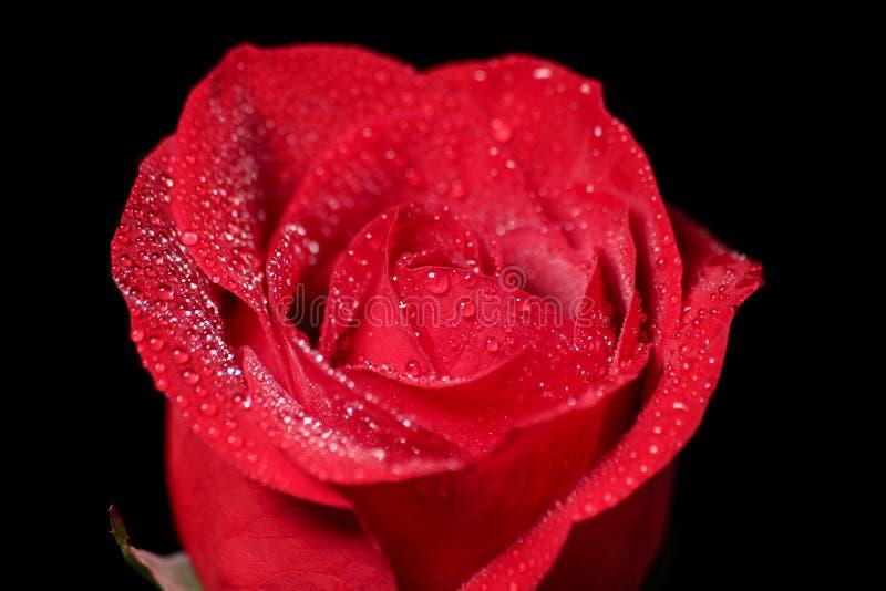 Un primer de una sola rosa roja con agua cae en él imagen de archivo