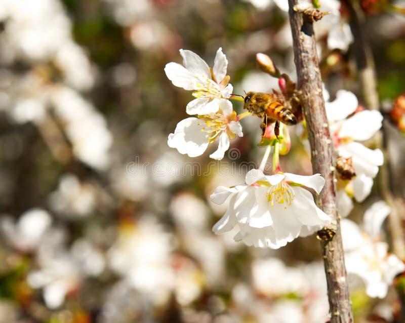 Un primer de un vuelo de la abeja alrededor de las flores de cerezo blancas fotografía de archivo