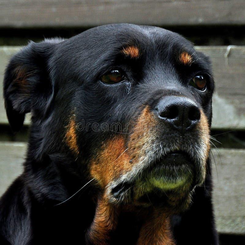 Un primer en la cabeza, en 12 años Rottweiler femenino foto de archivo
