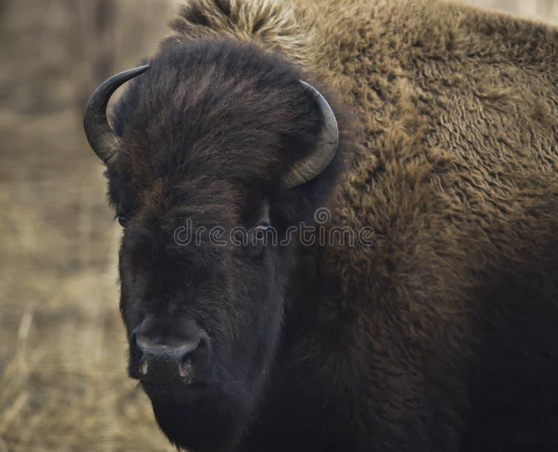 Un primer plano de un joven bisonte toro imagen de archivo