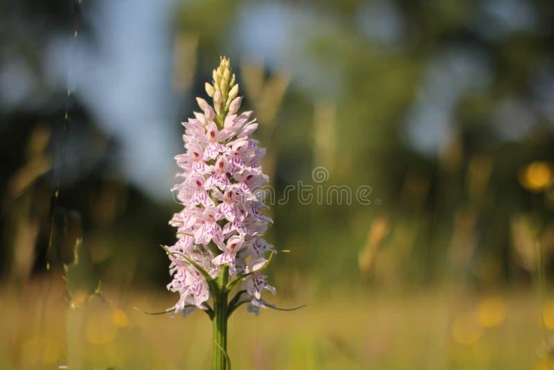 Un primer salvaje blanco hermoso de la flor de la orquídea en los campos en Holanda foto de archivo libre de regalías