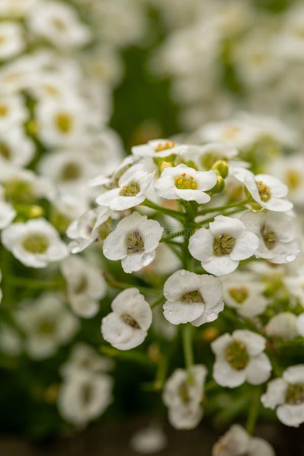 Un primo piano dei fiori bianchi minuscoli del giardino Fiori bianchi con i dettagli gialli su un fondo verde vago fotografie stock libere da diritti