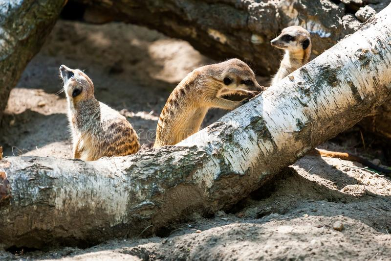 Un primo piano del meerkat adulto immagine stock libera da diritti