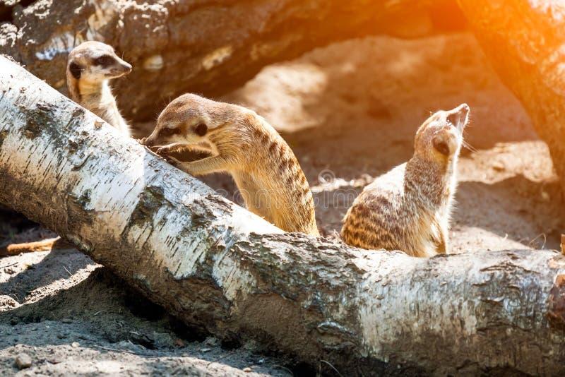 Un primo piano del meerkat adulto immagine stock