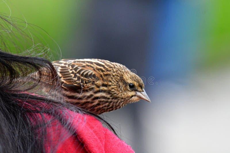 Un primo piano del merlo ad ali rosse giovanile fotografie stock