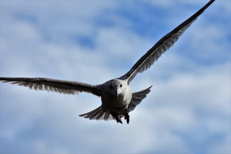 Un primo piano del volo del gabbiano nel cielo fotografie stock libere da diritti