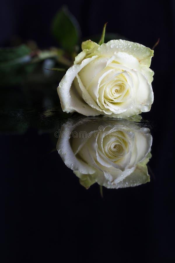 Un primo piano della testa una singola rosa di giallo, gocce di acqua, riflessione fotografia stock