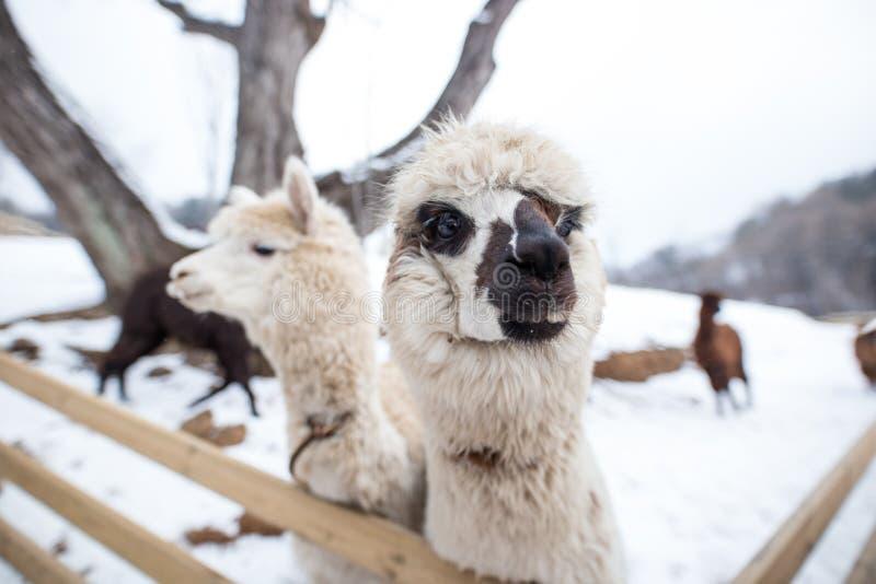 Un primo piano di alpaga bianca con il suo altro amico immagini stock libere da diritti