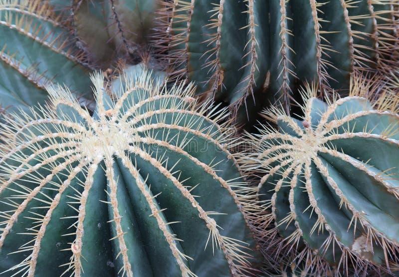 Un primo piano di due cactus di barilotto dorato immagini stock libere da diritti