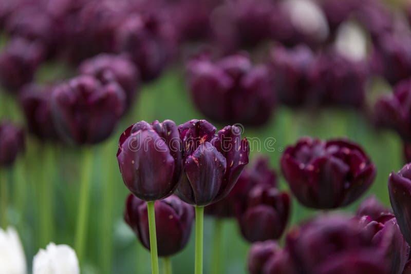 Un primo piano di due fiori porpora in un giardino fotografia stock