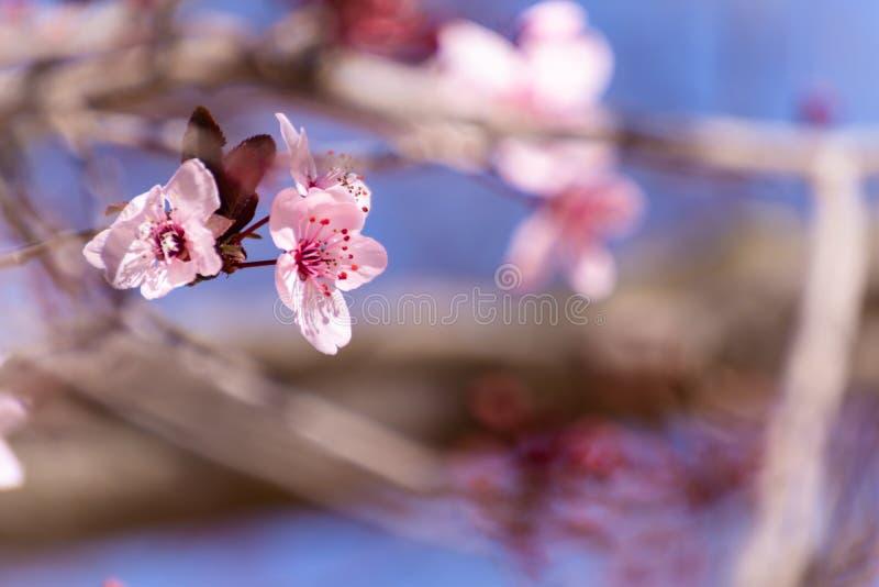 Un primo piano di due fiori rosa del mandorlo sui rami della mandorla e su un fondo del cielo blu Priorit? bassa della sorgente fotografie stock