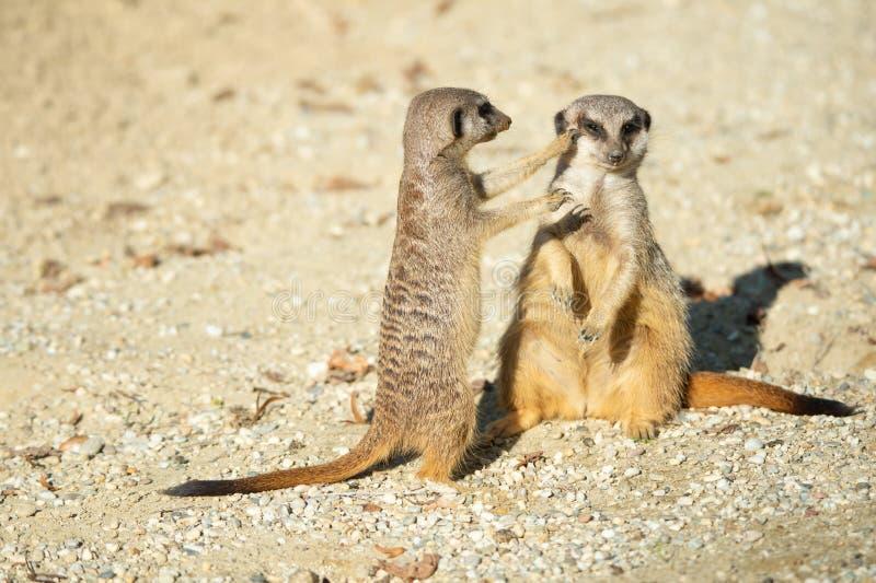 Un primo piano di due meerkats combattenti adulti nel deserto sabbioso immagini stock