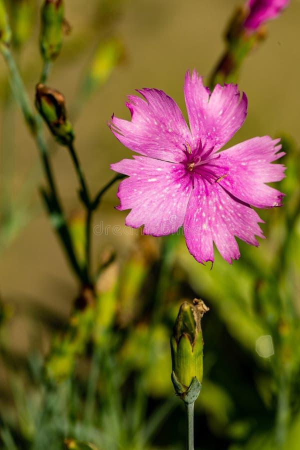 Un primo piano di un fiore porpora del giardino su uno sfondo naturale vago Fiore bello del giardino fotografie stock
