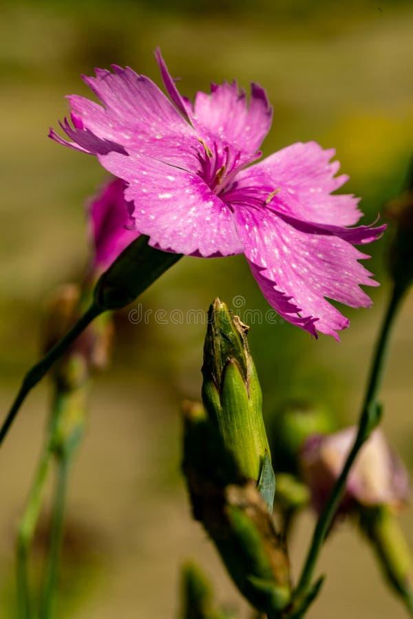 Un primo piano di un fiore porpora del giardino su uno sfondo naturale vago Fiore bello del giardino fotografie stock libere da diritti