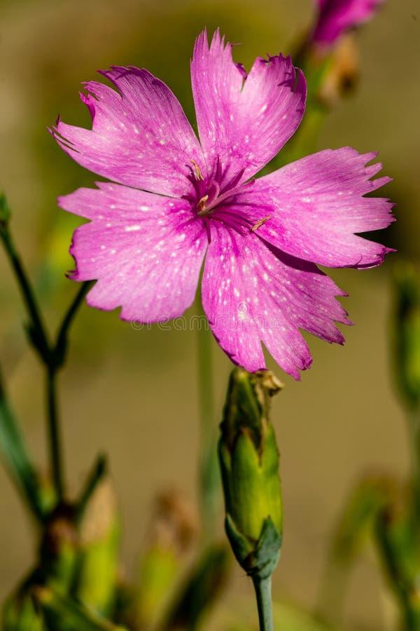 Un primo piano di un fiore porpora del giardino su uno sfondo naturale vago Fiore bello del giardino immagini stock libere da diritti