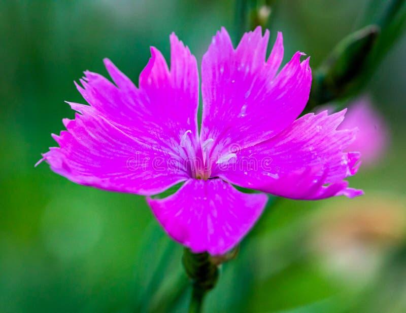 Un primo piano di un fiore porpora del giardino su uno sfondo naturale vago Fiore bello del giardino fotografia stock libera da diritti